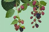 Ripe, Ripening, and Unripe Blackberries Isolated