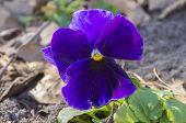 Purple Pansy Blossom