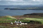 Irish Landscape With Sheep