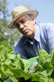 image of early 50s  - A lot of Lettuce in a garden and Gardener - JPG