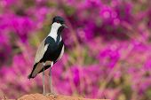 Spur-winged Plover Standing In Front Of Purple Flowers