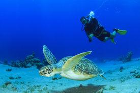 stock photo of aquatic animals  - Green Sea Turtle and Scuba Diver - JPG