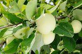 White Apple On The Tree