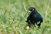 A Long-tailed Starling (lamprotornis Chalcurus) Standing In Grass