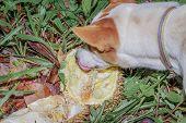 Dog Eating Ripen Durian