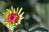 Zinnia Flower Bud