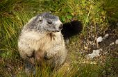 foto of marmot  - Marmot in Hohe Tauern National Park - JPG