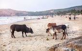Cows On The Beach In India