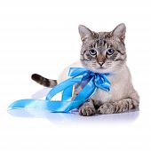 Striped Blue-eyed Cat With A Blue Bow..