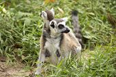 A Ring-tailed Lemur With Babies On Back