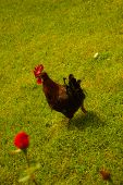 Rooster running in a country farm