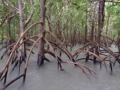 stock photo of darwin  - Ghostly mangroves under water in East Point Reserve - JPG