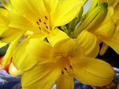 picture of day-lilies  - Large yellow flowers of a day lily in a garden  - JPG