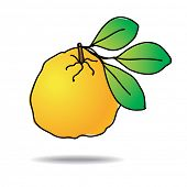 Freehand drawing ugli fruit icon - vector eps 10 illustration