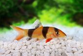 Clown loach tiger botia catfish Botia macracanthus in planted aquarium