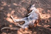 Australian kangaroo sleeping on the ground in the zoo