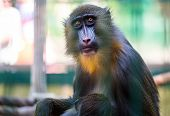 Mandrill monkey in the zoo