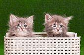 Cute gray kittens