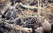 stock photo of pine-needle  - Pine Cones and Pine Cones and Needles in forest on a ground Needles in forest on a ground - JPG