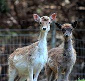 Pair Of Young Fallow Deer