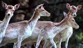 Group Of Four Fallow Deer