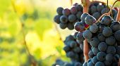 Closeup on bunches of black grapes in vineyards, Tuscany, Italy