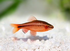 picture of freshwater fish  - cherry barb  - JPG