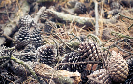 foto of pine-needle  - Pine Cones and Pine Cones and Needles in forest on a ground Needles in forest on a ground - JPG