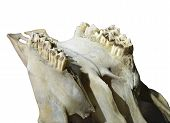 picture of jaw-bone  - Close up of the teeth and jaw bone of a cow - JPG