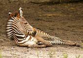 Calf Grevy Zebra