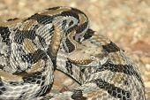 Canebrake Rattlesnake Crotalus horridus atricaudatus 12