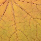 Fallen Golden Yellow Maple Leaf Texture Pattern, Autumn Fall Grunge Vintage Herbarium Background