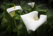 Three White Callas