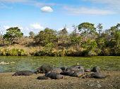 herd of wild hippos sleeping, Kruger