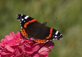 picture of zinnias  - Red Admiral butterfly on zinnia flower over green