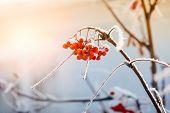 Rowan Berries In The Frost
