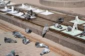 Pigeons Bathe In The Fountain.