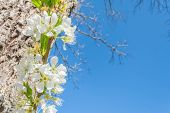 image of plum flower with clear blue sky.
