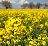 picture of turnip greens  - field of rapeseed with beautiful cloud  - JPG