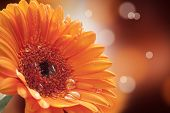 gerbera on a beautiful background