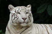 stock photo of white-tiger  - white tiger portrait - JPG