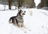foto of husky  - Husky lying on the snow in winter in the forest - JPG