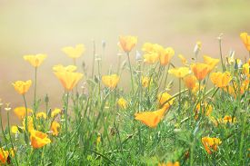 picture of yellow  - close-up of California Golden Poppy flowers yellow flowers summer spring garden