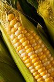 foto of corn stalk  - Raw Organic Yellow Seet Corn Ready to Cook - JPG