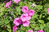 picture of glory  - Pink Morning Glory flowers in the garden on a sunny day - JPG