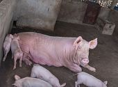 picture of piglet  - piglets at farm - JPG