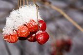 stock photo of rowan berry  - Close up of red rowan berries with ice crystals winter hoarfrost.