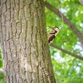 stock photo of woodpecker  - A woodpecker on a tree trunk is holding an insect in his beak - JPG