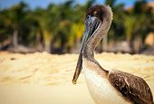 stock photo of playa del carmen  - Beautiful brown pelican on mexican beach in Playa del Carmen - JPG