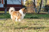 foto of collie  - Purebred collie stands on playground for dogs - JPG